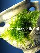 anchor moss